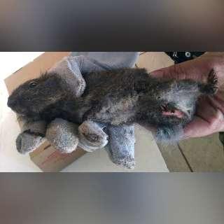 Após incêndio, cutia com patas queimadas aparece em escola