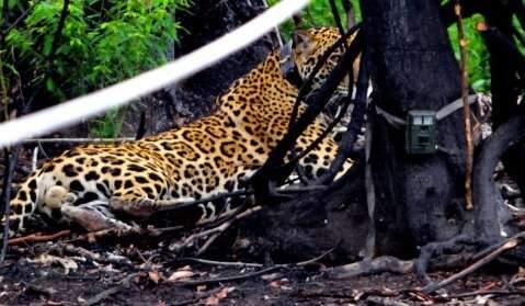 """Sobrevivente do """"Pantanal em chamas"""", onça volta a caçar e anda 8 km por noite"""