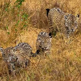 """Vídeo mostra onça """"Gatuna"""" com filhotes no Pantanal sul-mato-grossense"""