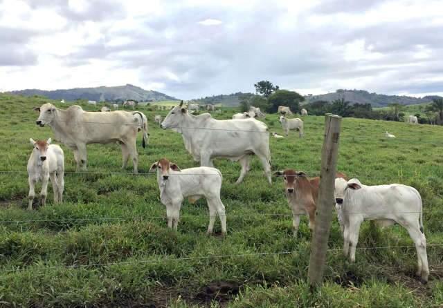 Primeiros cuidados com a vaca e o bezerro na propriedade de cria