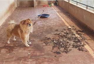 Cachorro estava sendo mantido amarrado por corda em meio à fezes. (Foto: Divulgação/PMA)