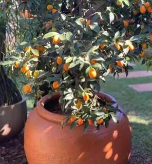 Pé de laranja quincã foi plantado em vaso e é opção para economizar espaço. (Foto: Studio Vertice)