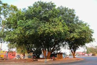 Árvores tomam conta de praça no Jardim Batistão e exemplificam alta arborização na Capital. (Foto: Paulo Francis)