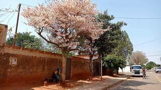 Ipês são recomendados pela Semadur para plantio em calçadas. (Foto: Arquivo/Gabriela Couto)