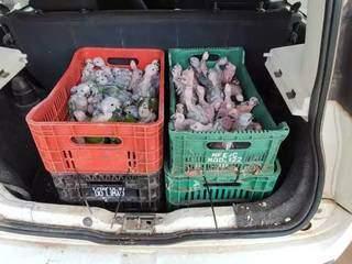 Filhotes de três diferentes aves eram transportados de forma irregular em Fiat Uno. (Foto: Divulgação)