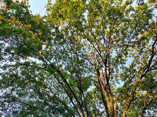 Árvore no Bairro Monte Castelo com flores amarelas. (Foto: Direto das Ruas)
