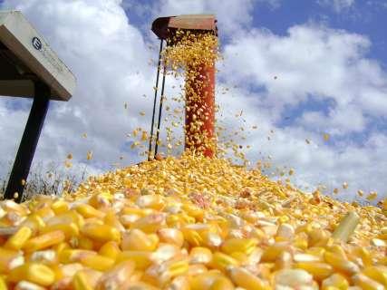 Colheita do milho na reta final confirma queda de 41% na produção