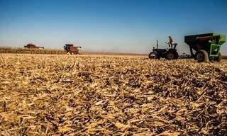 Estiagem e mau tempo derrubam produtividade do milho em quasse 50% em MS