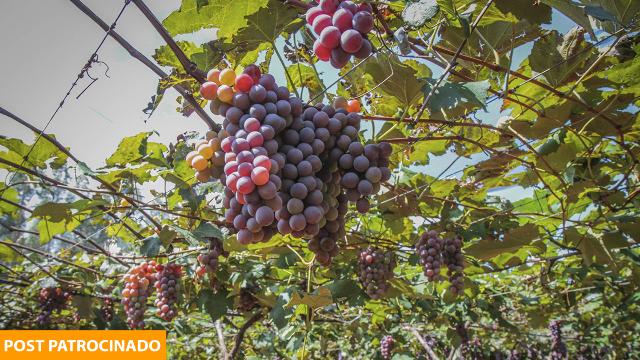 Corra: Última temporada da uva começa amanhã na famosa Estância Angélica