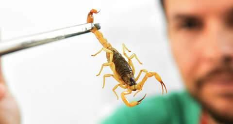 """Com HR """"exclusivo"""" para covid, picada de escorpiões agora é caso para UPAs"""