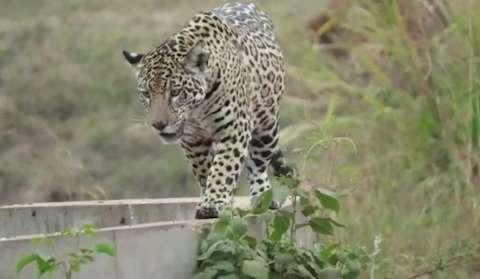 Fugindo do fogo, onças são vistas com mais frequência em estradas no Pantanal