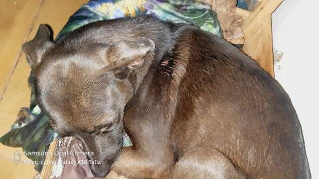 """""""Neguinha"""" salvou bebê de ataque de pitbull e precisa de tratamento"""