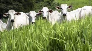 animal que sofreu restrição alimentar na seca inicia o período chuvoso com os órgãos viscerais em menor tamanho e metabolismo reduzido. Foto: Divulgação