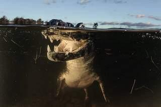 Jacaré foi fotografado na linha d'água no Pantanal, na região da Nhecolândia. (Foto: Luciano Candisani)