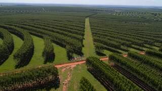 Em meio à floresta plantada, animais têm mais sombra e comida. (Foto: Fazenda Santa Vergínia)