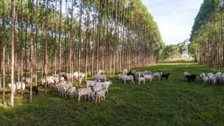 Gado em meio ao pasto e floresta de eucalipto na Fazenda Santa Vergínia, em Santa Rita do Pardo. (Foto: Fazenda Santa Vergínia)