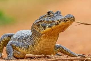 Jacaré-do-pantanal é uma das espécies que residem na região da fazenda. (Foto: Edir Alves)