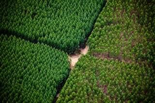 Floresta de eucalipto da fábrica de celulose Suzano (Foto: Divulgação/Suzano)