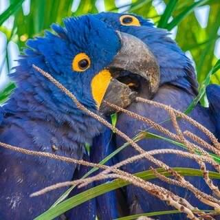 Arara-azul é outra ave bastante conhecida no Estado. (Foto: Edir Alves)