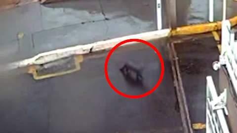 Em domingo de chuva, lontra entra e sai de bueiro em condomínio na Capital
