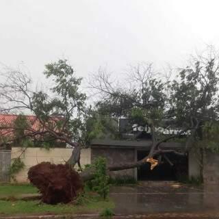 Árvore de grande porte caiu sobre o restaurante; ventos arrancaram ela pela raiz (Foto: Direto das Ruas)