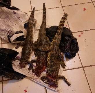 Dois homens são presos e multados em R$ 30 mil por caçar jacarés
