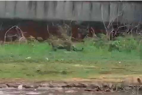 Olha a onça! Felinos são avistados pertinho, do outro lado do Rio Paraguai