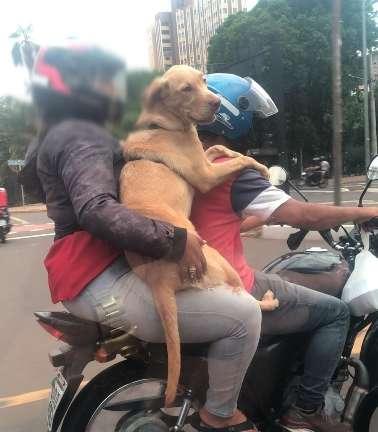 Casal transporta labrador em moto na avenida Afonso Pena