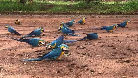 """""""Privilégio de Campo Grande"""", leitora vê 16 araras-canindés dentro da cidade"""
