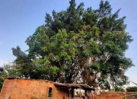 Com medo de cair e destruir casa, moradora pede que prefeitura pode árvores
