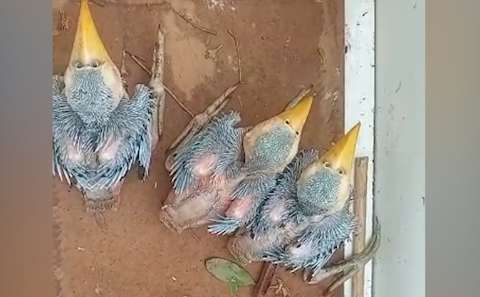 Filhotes de tucanos são resgatados após queda de árvore durante temporal