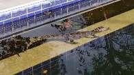 Filhote de jacaré é flagrado na piscina de chácara da Capital